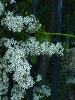 白い、小さな花